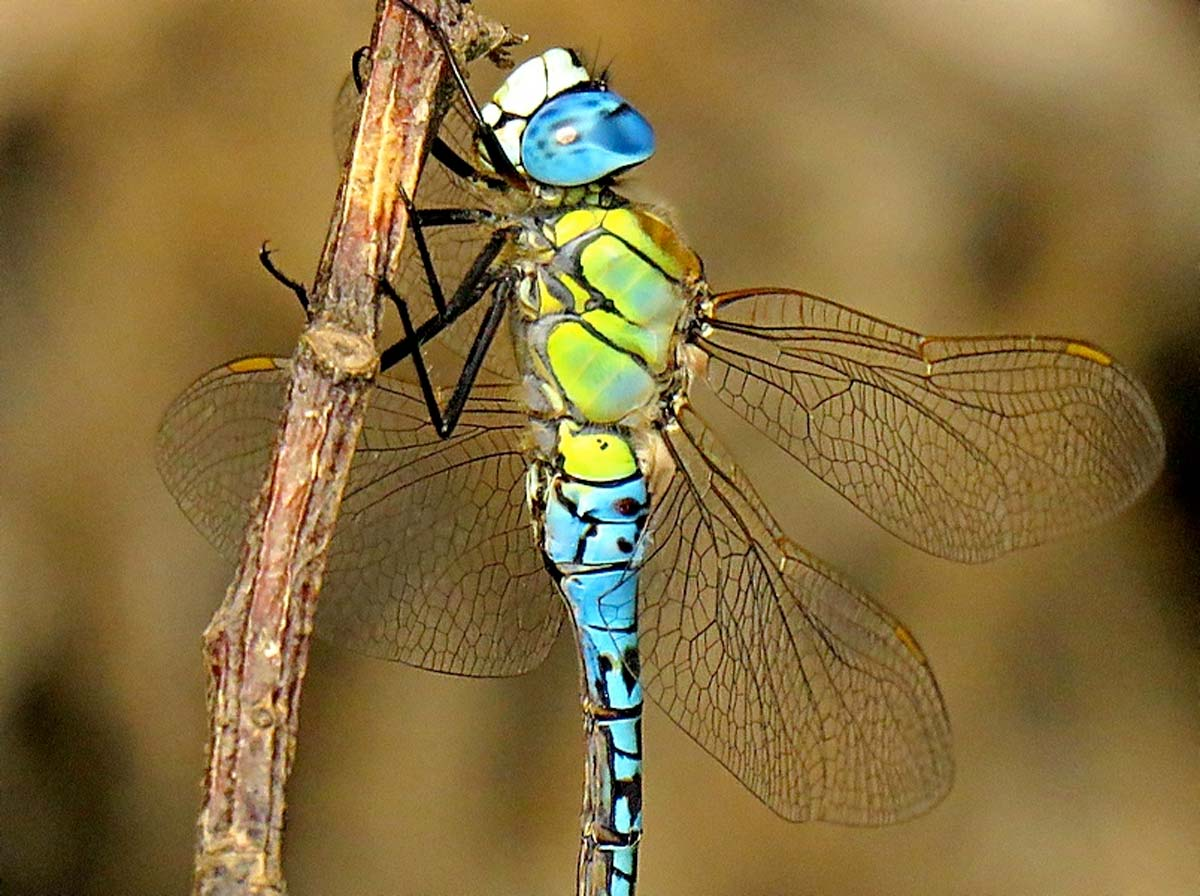 First southern migrant hawker dragonflies seen in Dorset