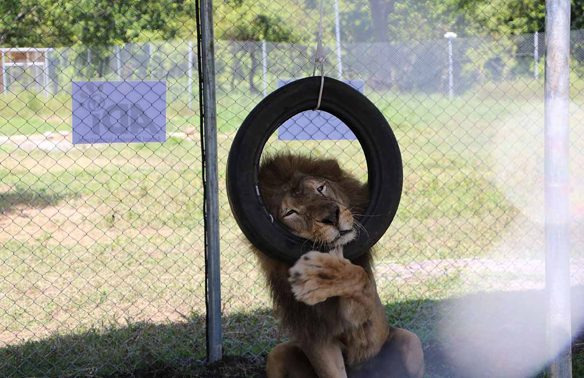 Kimba the lion at ADI's temporary rescue centre © Animal Defenders International