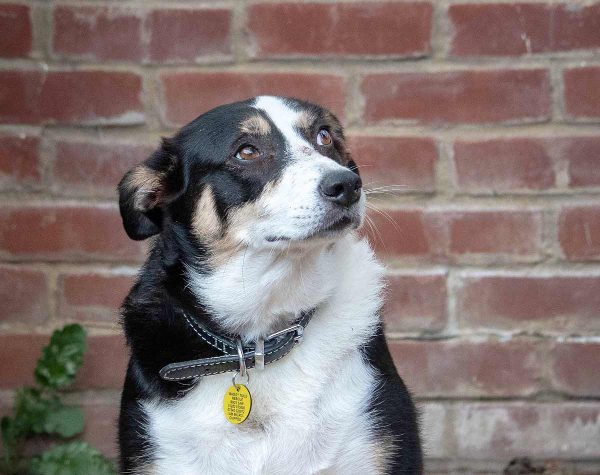 Collie Daisy needs a home