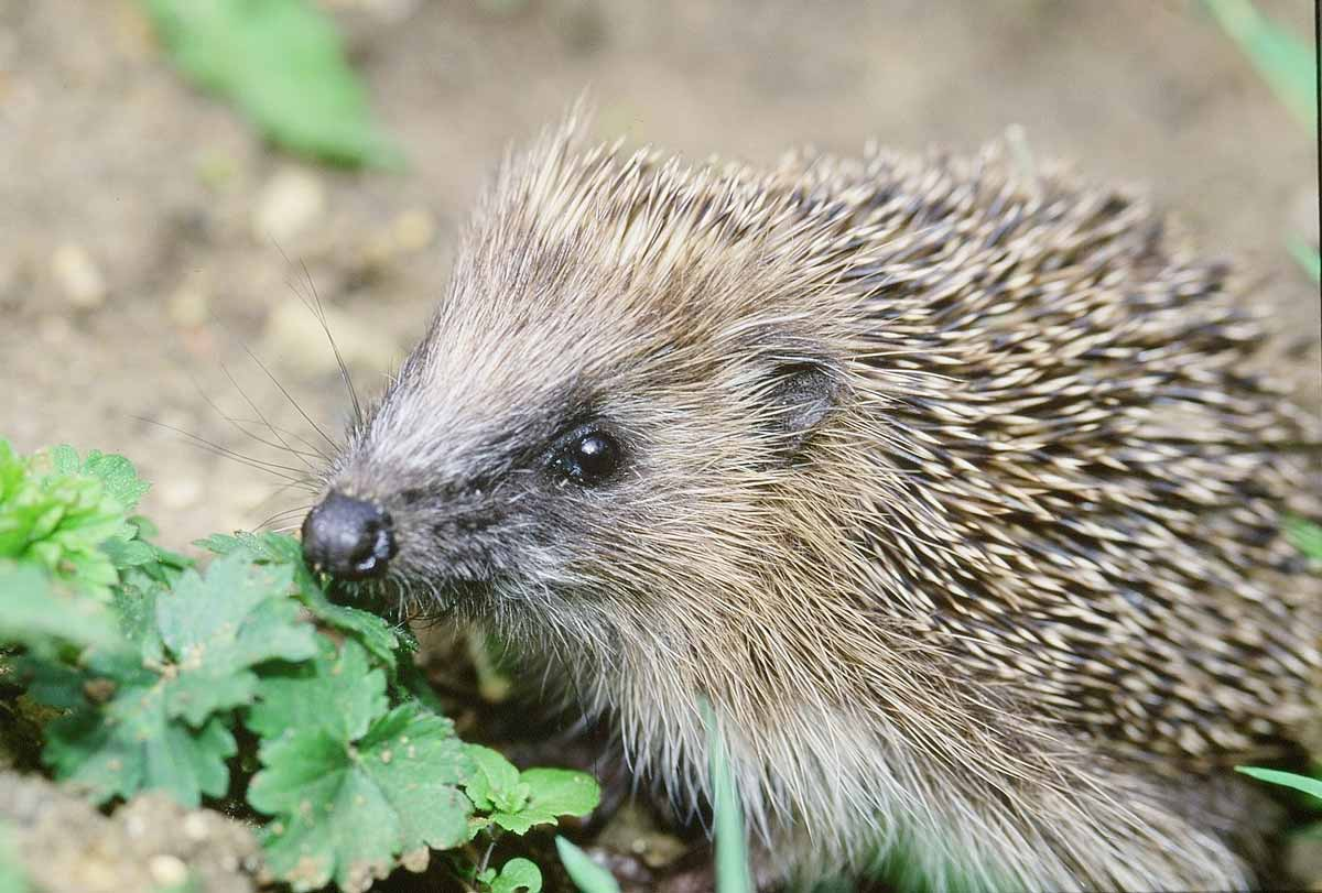 Log your 'hogs': Hedgehog Street reveals which counties are recording the most hedgehog sightings