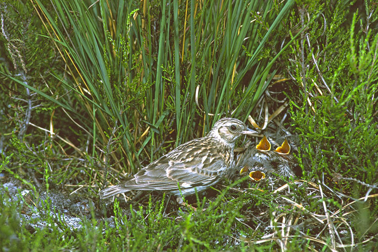 Woodlark at its nest on the ground with chicks. Copyright Mike Read