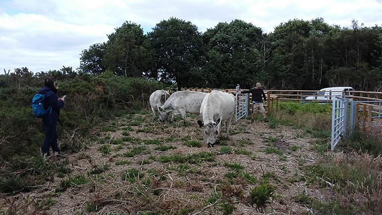 Cattle on Talbot Heath