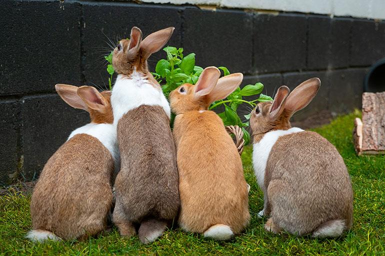 Pet rabbits enjoying the freedom to forage