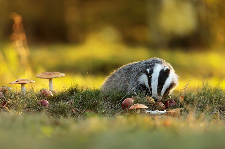 A badger spotted during the spring survey. Photo by Michael Ninger for Shutterstock