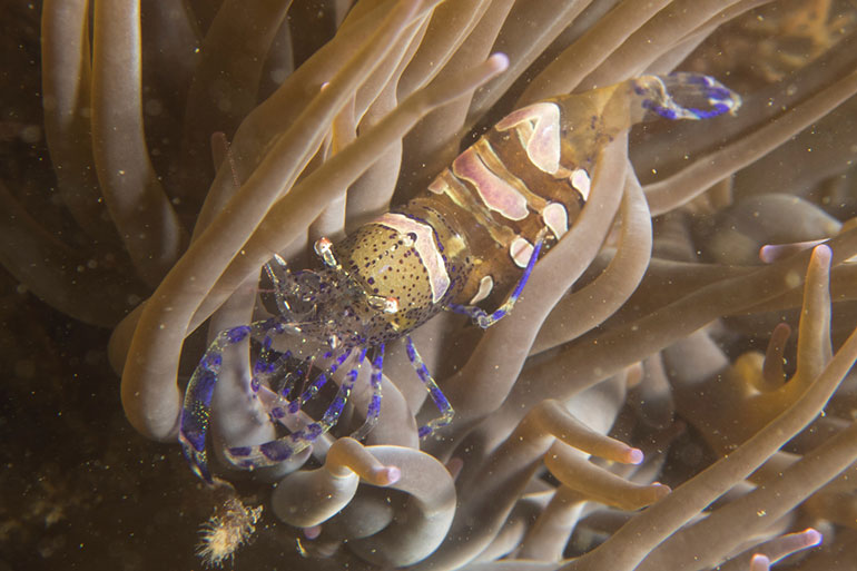Anemone shrimp by Julie Hatcher