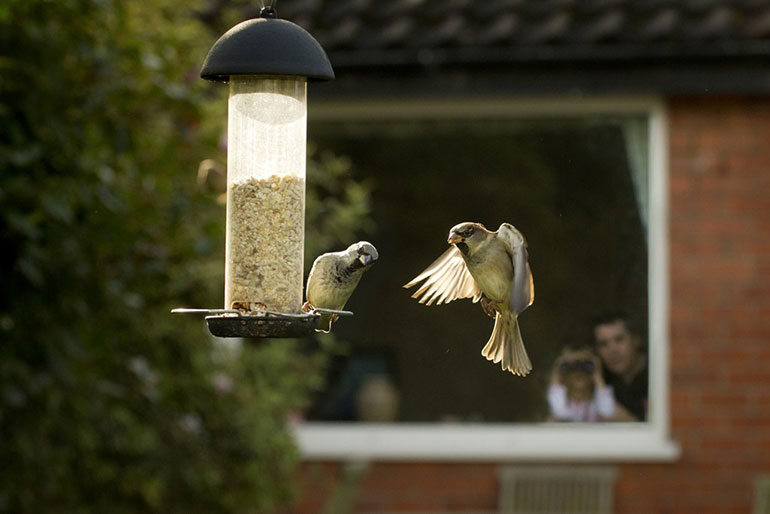 House Sparrows feeding from a garden feeder. Credit: Ben Hall, rspb-images.com