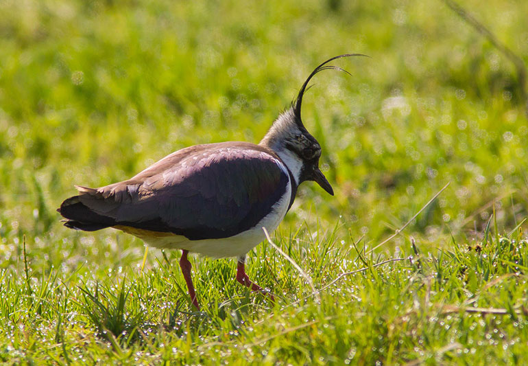Farmland-bird-count