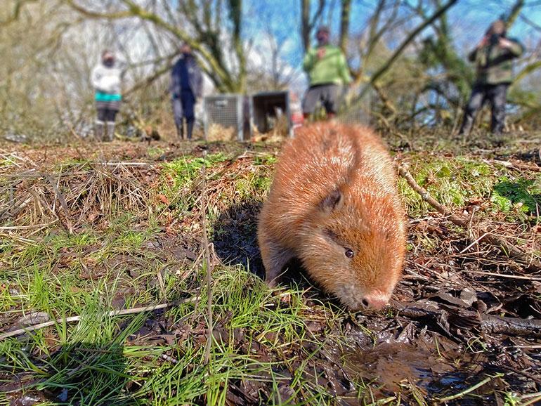 Beaver close up © Dorset Wildlife Trust/James Burland