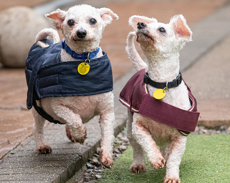 Waggy-Tails-Bichon-Frise