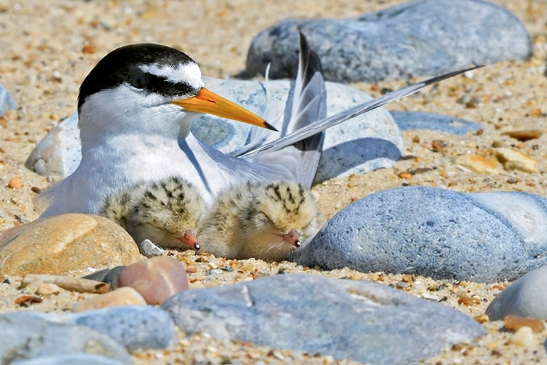 Little tern chicks with parent on nest in June © Kevin Simmonds