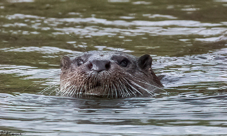 Otter, River Stour, Bournemouth © D Howe