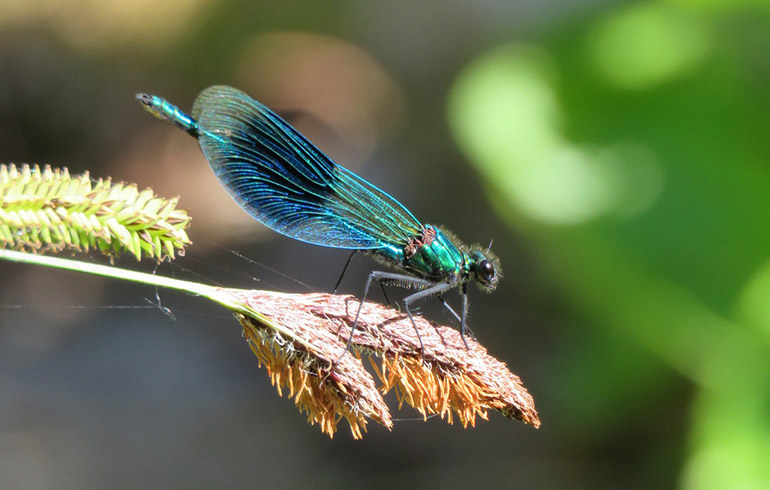 Admire the beauty of nature and give yourself a lift: Banded demoiselle a species of damselfly © CatchBox
