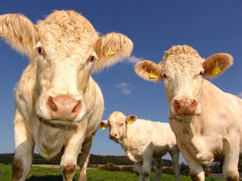 Cows Rural Crime Article