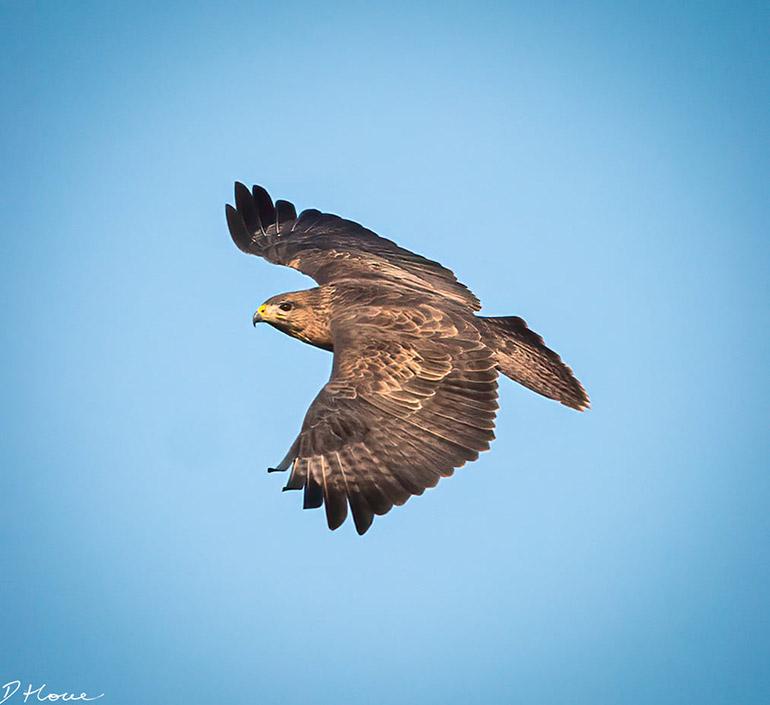 buzzard-above