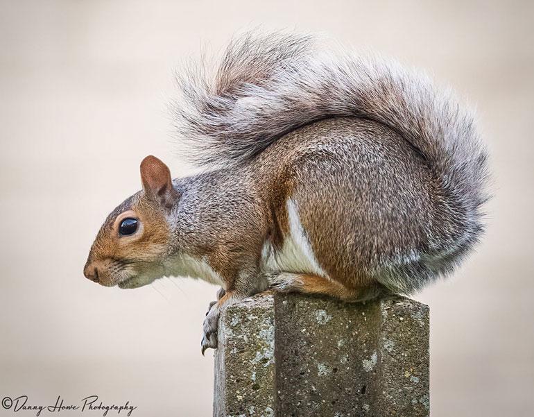 Grey squirrel © Danny Howe Photography